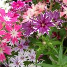 USA SELLER Twinkle Star Phlox Mix 25 seeds
