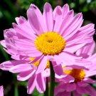USA SELLER Pyrithium Rose Chrysanthemum 25 seeds