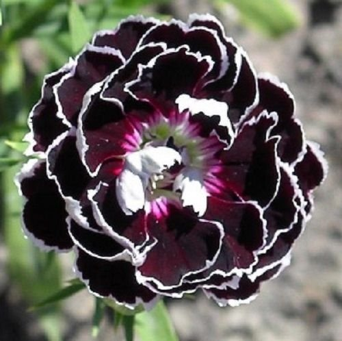USA SELLER Velvet and Lace Carnation 25 seeds