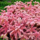 USA SELLER Seastar Sedum 25 seeds
