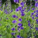 USA SELLER Wild Blue Indigo 10 seeds
