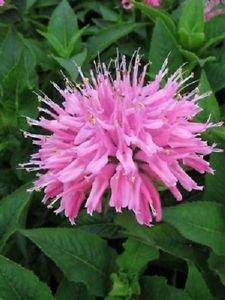 USA SELLER Pink Monarda Bee Balm  25 seeds