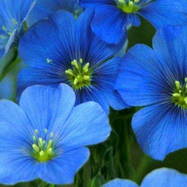 USA SELLER Blue Flax  100 seeds