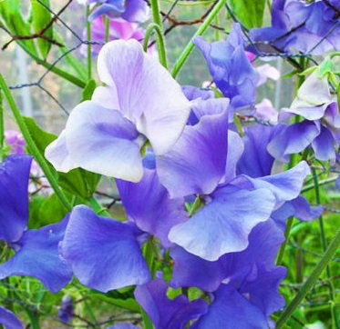 USA SELLER Blue Royal Sweet Pea 15 seeds