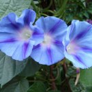 USA SELLER Blue Sdtar Morning Glory 25 seeds