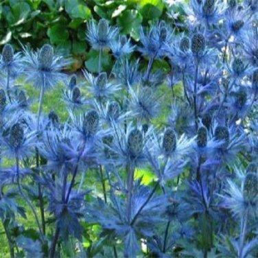 USA SELLER Blue Sea Holly 25 seeds