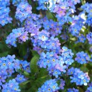 USA SELLER Blue Ball Blue Forget Me Not 100 seeds