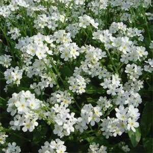 USA SELLER White Forget Me Not 100 seeds