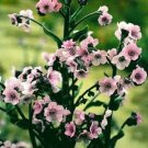 USA SELLER  Mystic Pink Forget Me Not 100 seeds