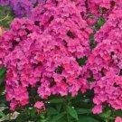 USA SELLER Tall Pink Flamour Girl Phlox 25 seeds
