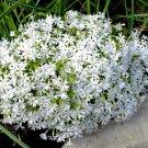 USA SELLER Snowflake White CreepingPhlox 25 seeds