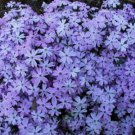 USA SELLER Blue Emerald Creeping Phlox 25 seeds