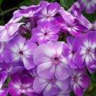 USA SELLER Tall Flame Purple Phlox 25 seeds