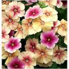 USA SELLER  Cherry Caramel Phlox 25 seeds
