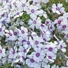 USA SELLER North Hills Creeping Phlox 25 seeds