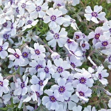 USA SELLER North Hills Creeping Phlox 25 seeds