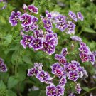 USA SELLER Sugar Star Phlox 25 seeds