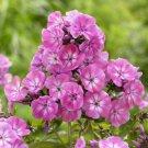 USA SELLER Anastasia Tall Phlox 25 seeds
