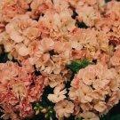 USA SELLER Peach Promise Tall Phlox 25 seeds