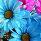 USA SELLER Windsor Blue Daisy 25 seeds