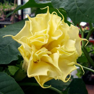 USA SELLER  Triple Flowered Yellow Datura (Yellow Triple Moon Flower) 10 seeds