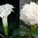 USA SELLER Triple White Datura (Triple White Moon Flower) 10 seeds