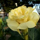 USA SELLER Double Yellow Datura (Double Yellow Moon Flower) 10 seeds