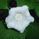 USA SELLER Double White Datura (Double White Moon Flower) 10 seeds