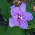 USA SELLER Purple Double Rose of Sharon 10 seeds
