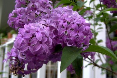 USA SELLER French Lilac 10 seeds