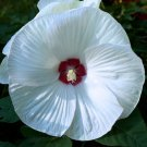 USA SELLER Disco Belle White Hardy Hibiscus 10 seeds