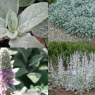 USA SELLER Lambs Ear 25  seeds