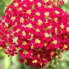 USA SELLER Common Red Yarrow 50 seeds  seeds