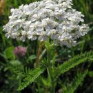 USA SELLER Common White Yarrow 50 seeds  seeds