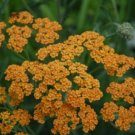 USA SELLER Terrecotta Orange Yarrow 50 seeds  seeds