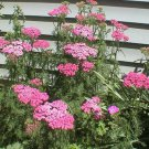 USA SELLER Cerise Queen Pink Yarrow 50 seeds  seeds