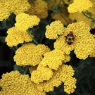 USA SELLER Common Yellow Yarrow 50 seeds  seeds