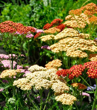 USA SELLER Colorado Mix Yarrow 50 seeds  seeds