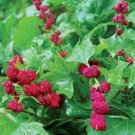 USA SELLER Strawberry Spinach 100 seeds  seeds