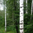 USA SELLER Europe White Birch Tree  30 seeds