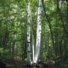 USA SELLER Japanese White Birch Tree  30 seeds
