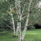 USA SELLER Paper Birch Tree  30 seeds