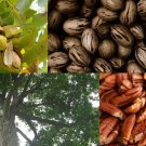 USA SELLER Southern Pecan Tree 8 seeds