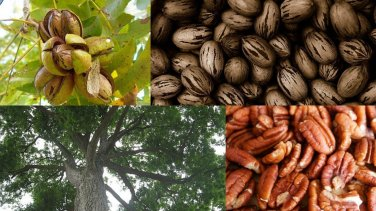 USA SELLER Southern Pecan Tree 8 seeds