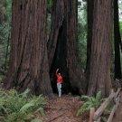 USA SELLER Coast Redwood Tree  10 seeds