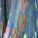USA SELLER Eucalyptus deglupta, Rainbow-Tree, Rainbow-Gum Tree  10 seeds