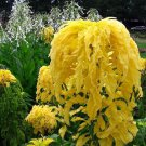 USA SELLER Tricolor Aurora Yellow Amaranth 25 seeds