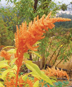 USA SELLER Golden Giant Amaranth 25 seeds