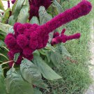 USA SELLER Elephant Head Amaranth (Penis shaped)  25 seeds