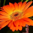 USA SELLER Orange gerbera Daisy 10 seeds